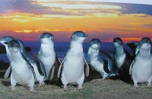 St Kilda Penguins